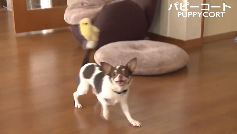 ペットが走れる床 PUPPYCORT